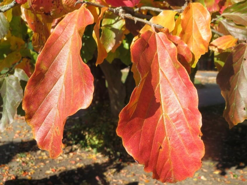 Arborele de fier persan (<i>Parrotia persica</i>)