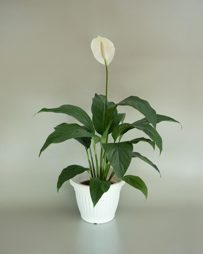 <b>4. Crinul pacii (<i>Spathiphyllum wallisii</i>)</b>