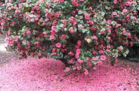 Curiozitati in amenajari exterioare: care sunt diferentele dintre un arbust si un tufis