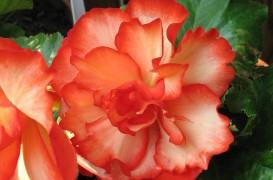 Rasfata-te si tu cu begonii multicolore