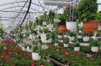 Plante curgătoare pentru balcoane - oaze de culoare și prospețime pentru un sezon întreg In serele Biosolaris Producator de Plante de la Ciorogarla gasesti o multime de flori curgatoare cu care sa-ti decorezi interioarele, balcoanele, terasele, curtile si gradinile.