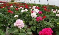 Mușcatele florile de suflet ale românilor Muscatele sunt florile preferate si de suflet ale romanilor Biosolaris