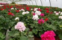 Mușcatele, florile de suflet ale românilor Muscatele sunt florile preferate si de suflet ale romanilor. Biosolaris Producator de Plante are in serele sale de la Ciorogarla nenumarate sortimente de muscate.