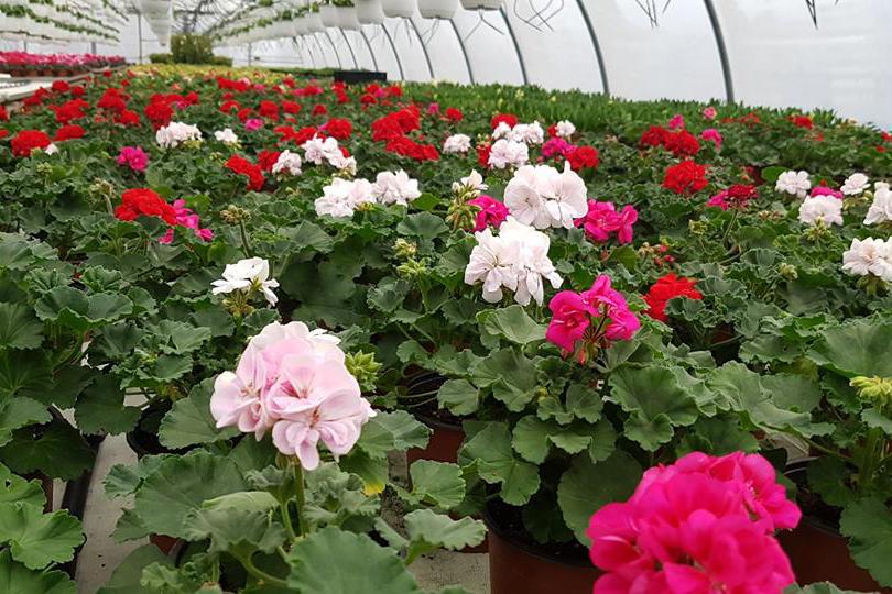 Mușcatele, florile de suflet ale românilor