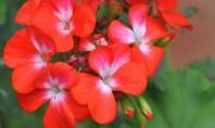 Muscate variate pentru ghivece si jardiniere Muscatele sunt fara indoiala cele mai populare flori din tara