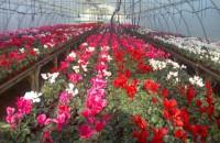 Flori frumoase in serele Biosolaris Producator de Plante. Haideti sa le vedeti!