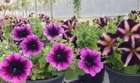 Petunii Calibrachoa și alte plante de sezon de la Biosolaris Producător de Plante Daca n-ati apucat