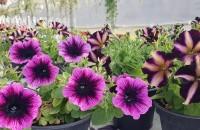 Petunii, Calibrachoa și alte plante de sezon de la Biosolaris Producător de Plante Daca n-ati apucat pana acum sa va decorati balconul, curtea sau gradina cu florile preferate, e vremea sa va grabiti. Va asteptam cu drag la serele noastre din