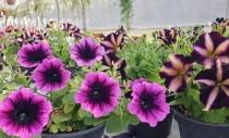 Petunii, Calibrachoa si alte plante de sezon de la Biosolaris Producator de Plante