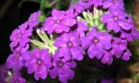 Verbene multicolore pentru casa si gradina Verbena este o planta foarte florifera si din acest motiv