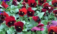 Panseluțele flori colorate chiar și iarna pe ger și zăpadă Panselutele sunt flori deosebite pentru ca