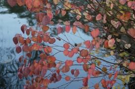 Arbori care îţi înfrumuseţează grădina toamna