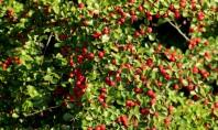 """""""Super planta"""" care absoarbe poluarea cauzată de trafic Este vorba despre arbustul numit Cotoneaster franchetii cu"""