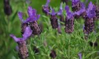 Levantica indragita pentru versatilitatea sa! Levantica este una dintre cele mai indragite plante de gradina dar
