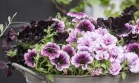 Petuniile flori ideale pentru ghivece suspendate in sezonul cald Petuniile sunt plante extraordinare care se folosesc