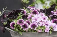 Petuniile, flori ideale pentru ghivece suspendate in sezonul cald