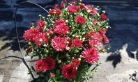 Crizanteme colorate pentru o toamnă de poveste Crizantemele colorate sunt flori tare iubite Nu doar pe