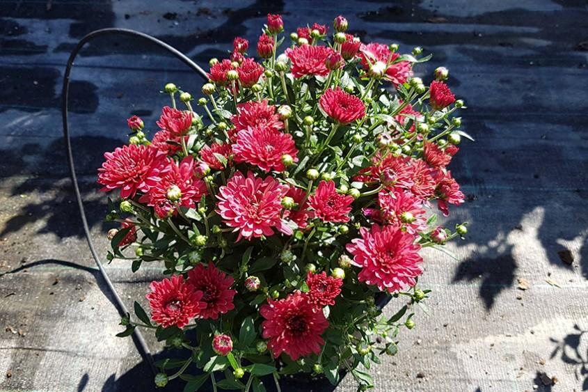 Crizanteme colorate pentru o toamnă de poveste
