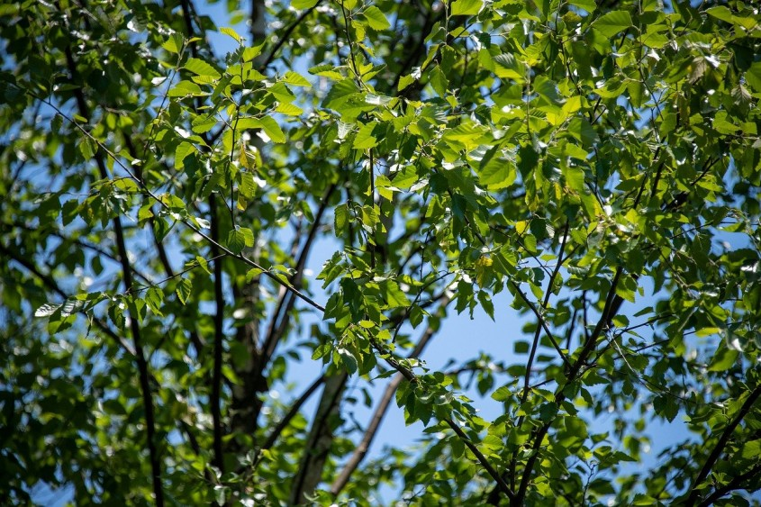 Un copac pentru fiecare locuitor
