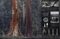 Zgarie-norii din arborii putreziti de sequoia, un mod surprinzator de a le preveni prabusirea
