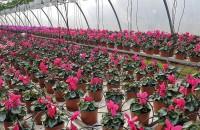 Primăvara a venit! Da, în serele Biosolaris Primavara vine mereu mai devreme in serele Biosolaris Producator de Plante de la Ciorogarla!