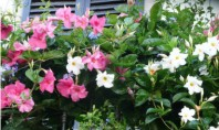 Mandevilla exotica ideala pentru amplasamente insorite Mandevilla sau Dipladenia este o planta spectaculoasa pentru terase mai
