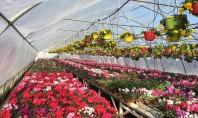 De ce sa va cumparati flori romanesti la ghiveci? Ar fi mai comod si chiar mai