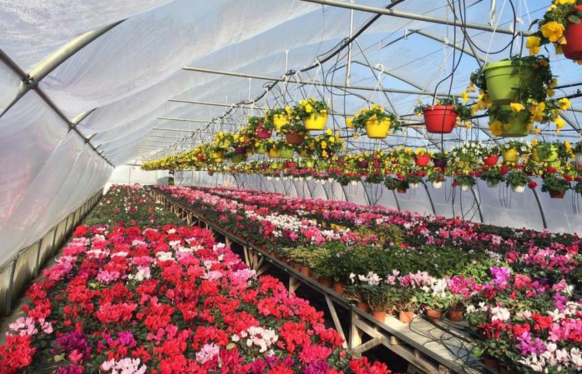 De ce sa va cumparati flori romanesti la ghiveci?