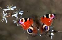 Cum să atragi roiuri de fluturi colorați în grădina ta - sfaturi de la un inginer