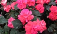 """Impatiens ideala pentru amplasamente partial umbrite Impatiensul este o planta cunoscuta popular drept """"Sporul Casei"""" pentru"""