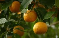 Oraşul care produce electricitate din portocale