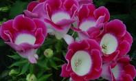 Gloxiniile vedete in ghivece si jardiniere! Vrei sa plantezi flori spectaculoase in ghivece si jardiniere pentru