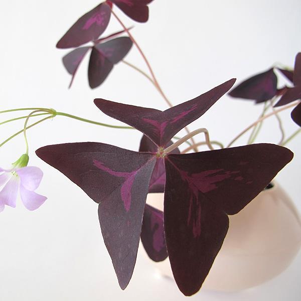 Un strop de culoare regală în casa ta: Cinci plante de interior cu frunze violete