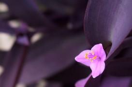 Plante de interior cu frunze mov, pentru un strop de culoare regală