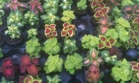 Coleus o planta nepretentioasa cu frunzis deosebit de frumos Coleusul este o planta atat de putin