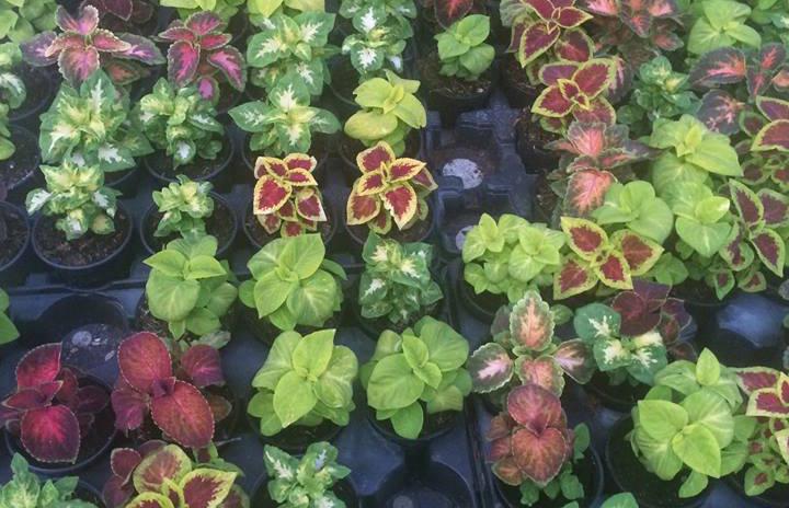 Coleus, o planta nepretentioasa cu frunzis deosebit de frumos