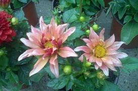 Daliile, plantele ideale pentru amenajarea rapida a unor gradini superbe!