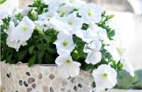 Ghiveci decorat cu pietre Un ghiveci de flori predominant alb va fi un accent plin de prospetime, indiferent de camera unde il veti pozitiona.