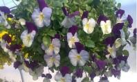 Panselute colorate si parfumate pentru incantarea tuturor Panselutele sunt cele mai nepretentioase plante pentru gradina dar