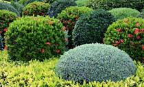 Despre arbustii ornamentali