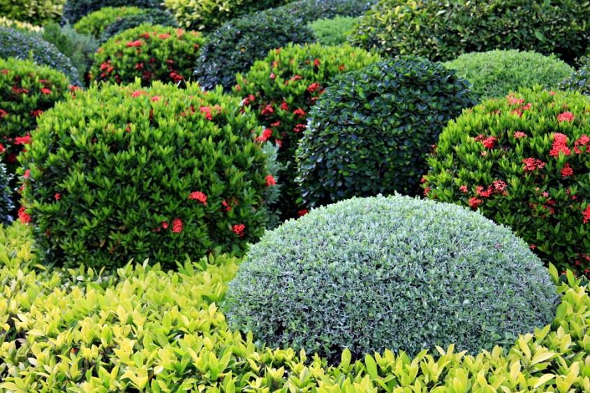 Ce trebuie să ştii despre arbuştii ornamentali pentru grădina ta