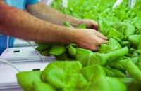 Ce este agricultura hidroponică și unde se poate practica