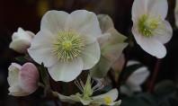 Spanz viguros pentru gradina dar si pentru ghivece Spanzul sau Helleborul este o floare uimitoare Se