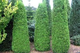 Coniferele - forme care pot personaliza gradina