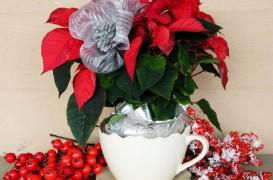 Plante decorative in perioada Craciunului: Craciunita, vedeta sezonului